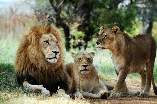 un leone accompagnato da due leonesse nella savana