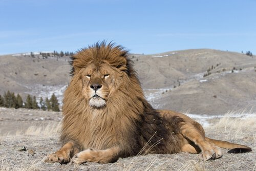 Leone africano riposa alla base delle montagne