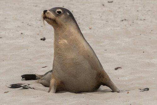 Leone marino sulla spiaggia delle isole Galapagos