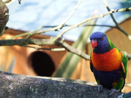 un lorichetto arcobaleno su un ramo accanto a una casetta
