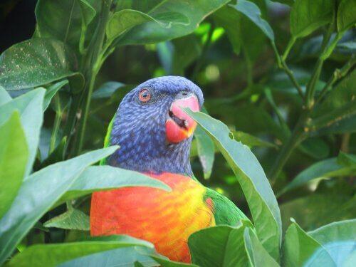 Lorichetto arcobaleno, l'uccello dai mille colori