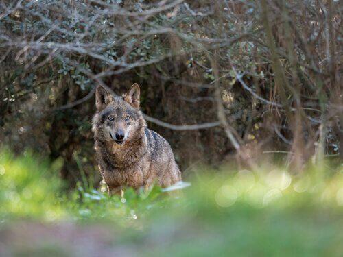 Lupo avvistato tra i rami di un bosco