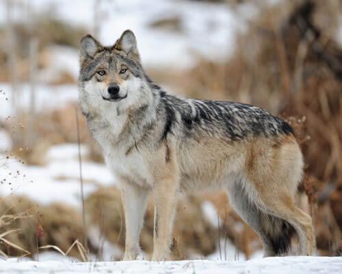un lupo messicano di profilo sulla neve