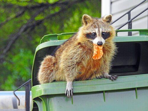 Procione mangia dalla spazzatura in città