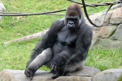 Gorilla occidentale: il più grande primate del mondo