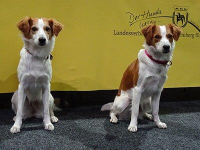 un maschio e una femmina di Kromfohrlander in una mostra canina