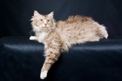 LaPerm, il gatto riccio affettuoso e giocherellone