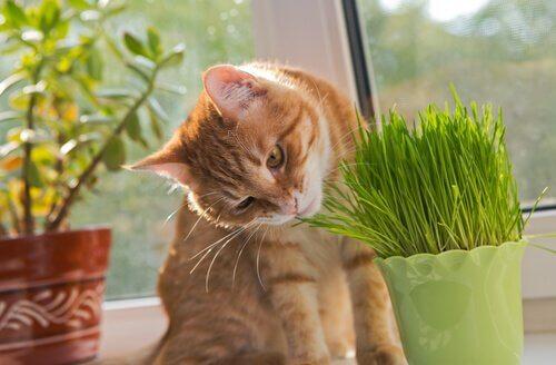 un micio mangia dell'erba gatta