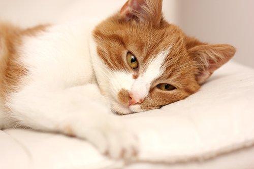 Micio riposa con la testa sul cuscino