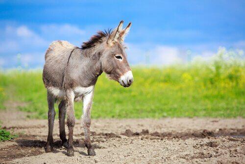 un mulo grigio su un terreno agricolo