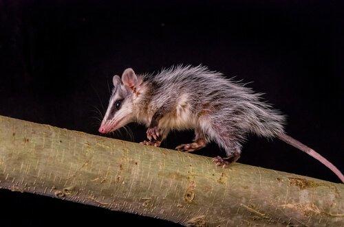 un opossum corre su un albero