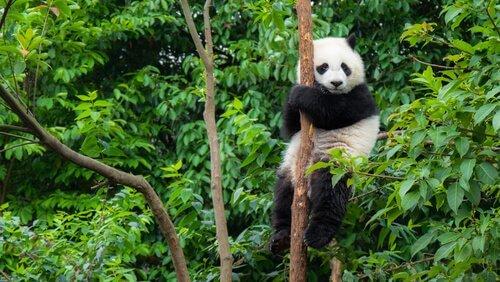 La Cina prepara una riserva per il panda gigante