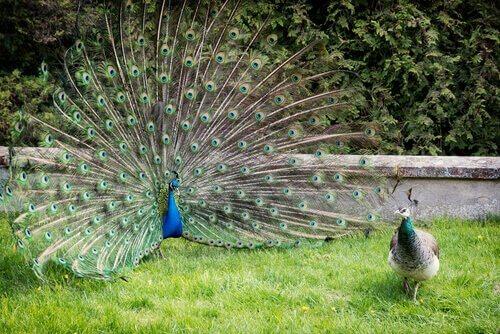 un pavone blu mostra le piume della ruota