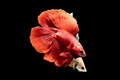 un pesce lottatore del siam mentre si accoppia
