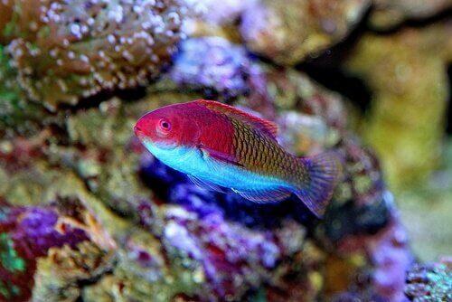Esempio di pesci labridi