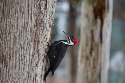 un picchio bianconero di lato su un tronco