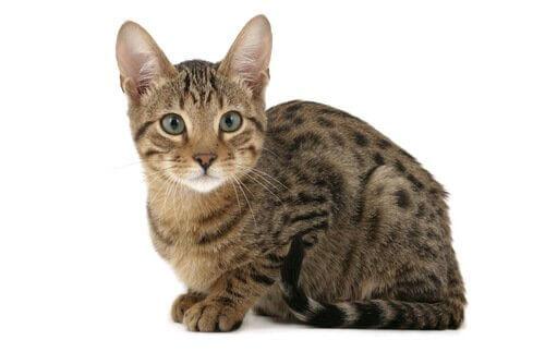 un piccolo Gatto Serengeti accucciato