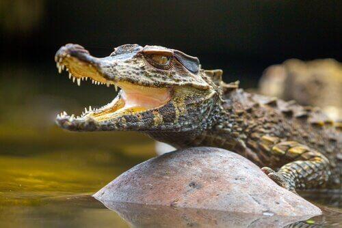 Un piccolo alligatore tra le rocce