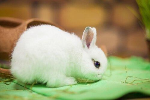 Coniglio nano olandese bianco con occhi neri