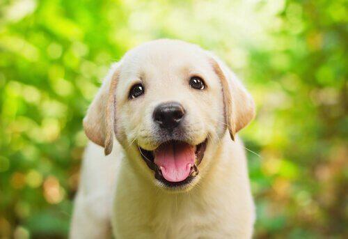 un piccolo labrador con la lingua di fuori