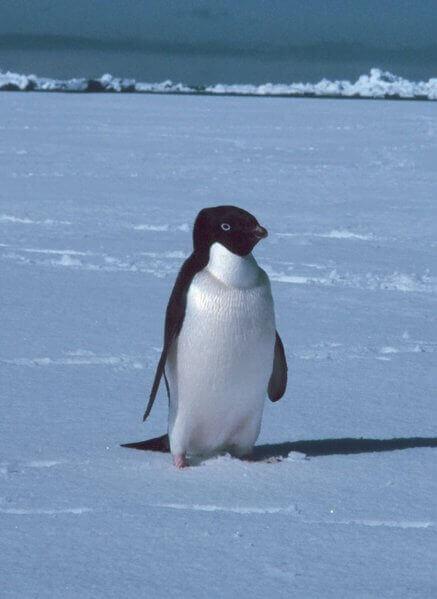 Pigoscelide di Adelia cammina sulla neve da solo