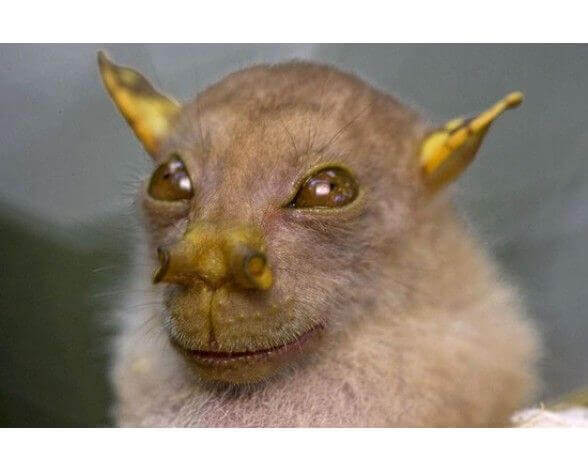 Pipistrello yoda con le sue caratteristiche orecchie