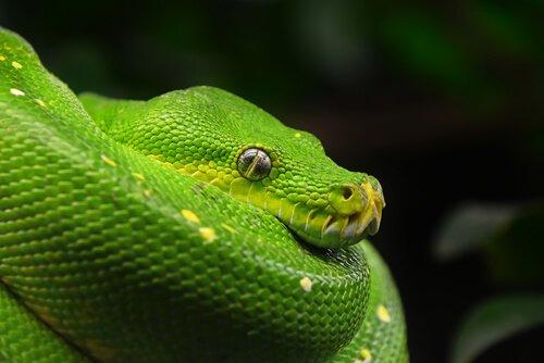 pitone verde accovacciato