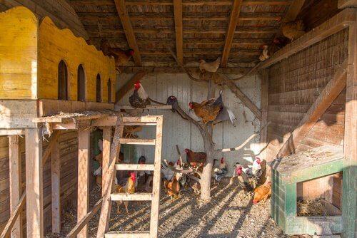 un pollaio con delle galline che svolazzano