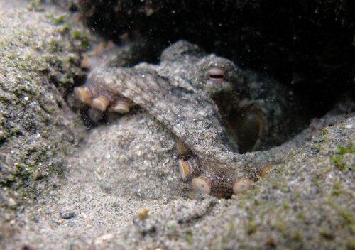 Un polpo grigio si mimetizza nella sabbia