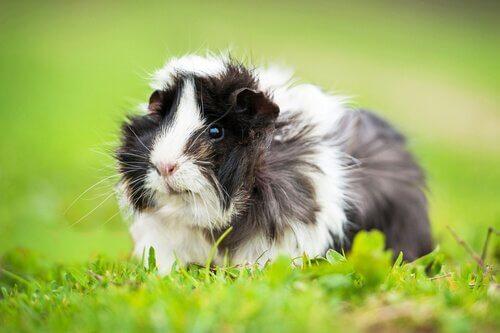 8 curiosità sui porcellini d'India da non perdere
