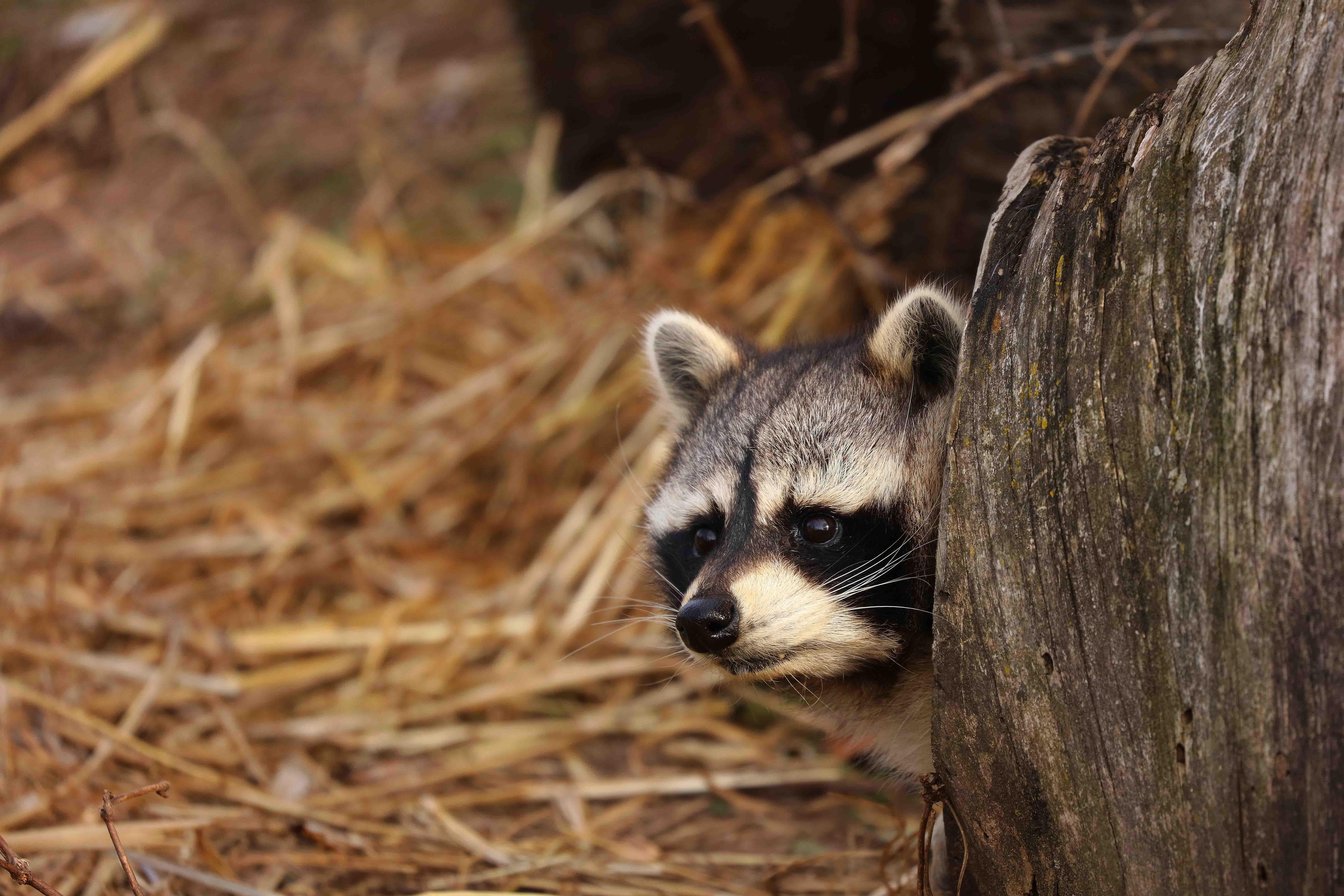 un procione si nasconde dietro a un albero