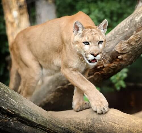 un puma cammina lentamente su un ramo