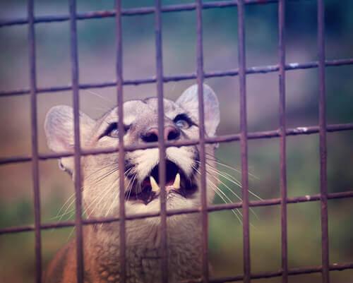 un puma chiuso in gabbia mostra i canini