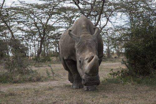 un rinoceronte visto da davanti nel suo habitat