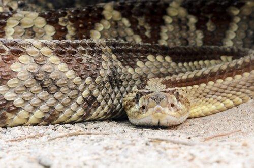 serpente del Messico