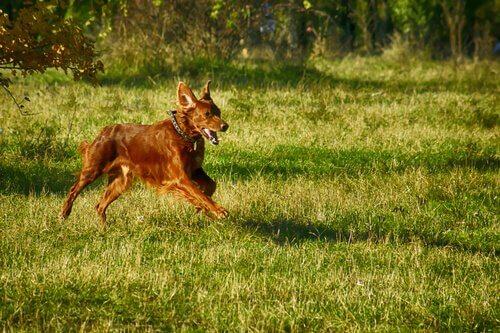 L'addestramento dei cani da ferma