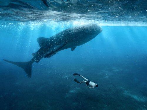 Squalo balena: caratteristiche, dieta e habitat