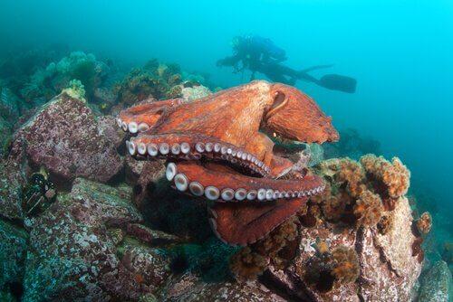 Sub osserva un polpo gigante del Pacifico