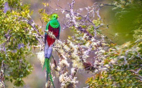 Uccello quetzal del guatemala nella vegetazione