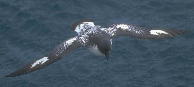 una Procellaria del Capo in volo con le ali aperte