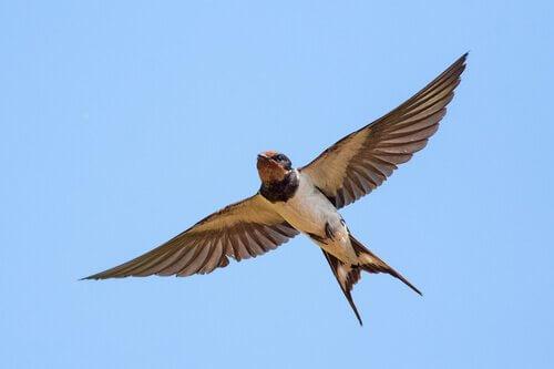 Rondine: l'uccello migratore più conosciuto