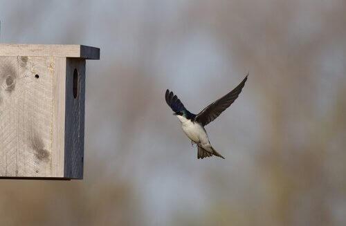 una Rondine si avvicina a un nido artificiale in legno