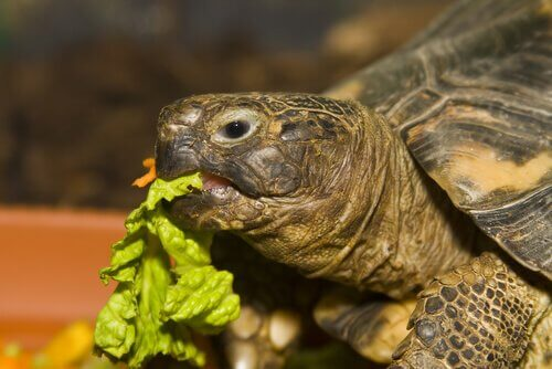 Tartaruga di Horsfield mangia dell'insalata