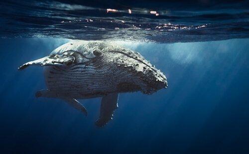 Balenottera azzurra a filo d'acqua