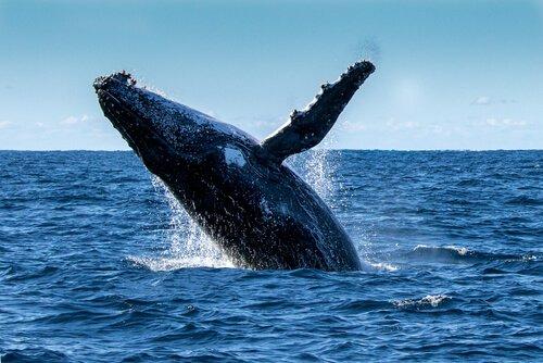 Balenottera azzurra salta fuori dall'acqua con una pinna in alto