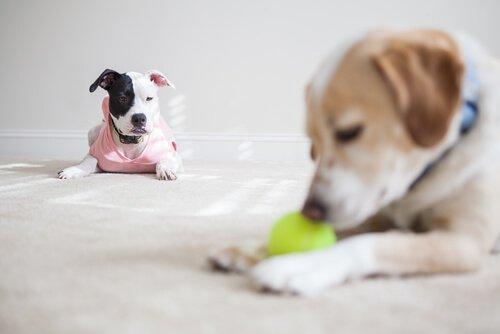 una cagnolina guarda un altro cane giocare con una pallina da tennis