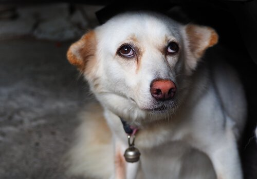 Cane bianco spaventato