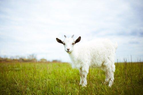 una capra bianca nel prato