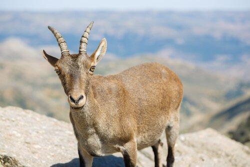 una capra in alta montagna