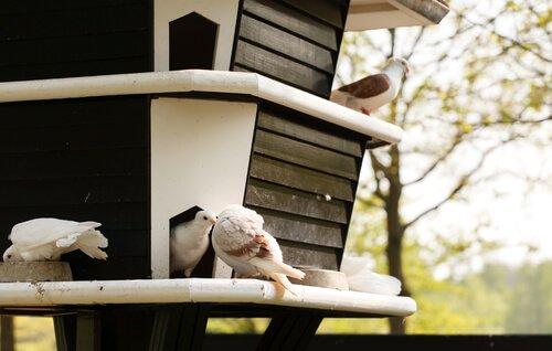 Casetta di legno per allevare colombe